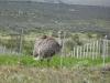 Patagonia, struś