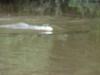 weneart2 delfin rzeczny
