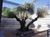 Drzewko oliwne w Madrycie