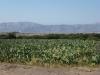 Nazca - Pole kaktusów