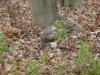 Jastrząb zjadający Wiewórkę